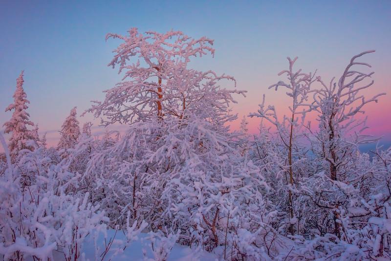Hoar Frost Trees In Twilight -Ester Dome, Fairbanks, Alaska