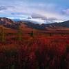 The Deep Reds Of Autumn - Denali National Park, Alaska