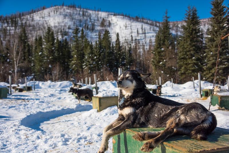 Alaskan Dogs Waiting To Be Taken Out -Chena Hot Springs Resort, Fairbanks, Alaska