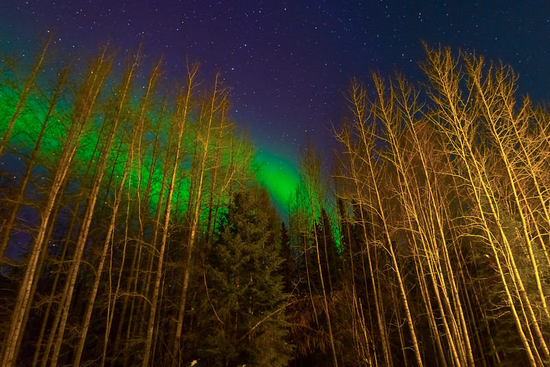 The Guard Of Birch Trees_30x20 -Chena Hot Springs Resort, Fairbanks, Alaska