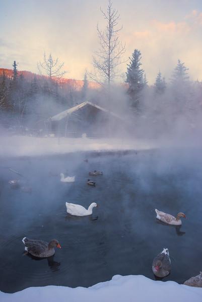 Morning Light Shines On The Ducks -Chena Hot Springs Resort, Outside Fairbanks, Alaska