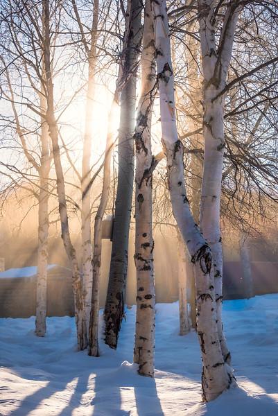 Sun Rays Through The Birch Trees -Chena Hot Springs Resort, Fairbanks, Alaska