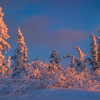 Twin Trees Of Gold And Light -Ester Dome, Fairbanks, Alaska