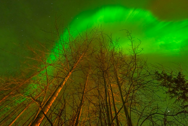 Birch Tree Explosion -Chena Hot Springs Resort, Fairbanks, Alaska