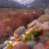 Fall Colors At The Base Of The Sierra Nevada - Alabama Hills, California