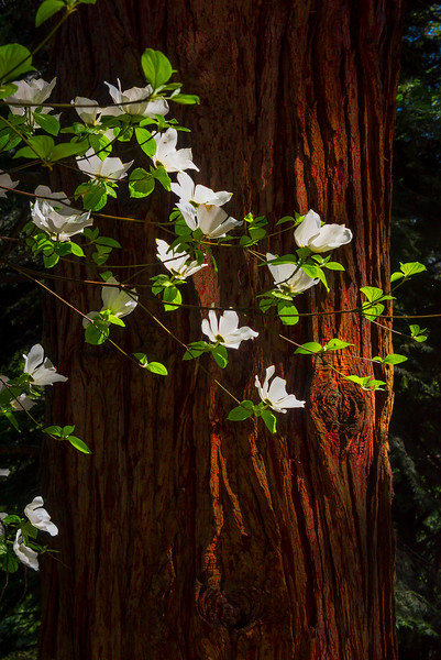 The Dogwood In Spotlight - Yosemite National Park, Sierra Nevadas, California