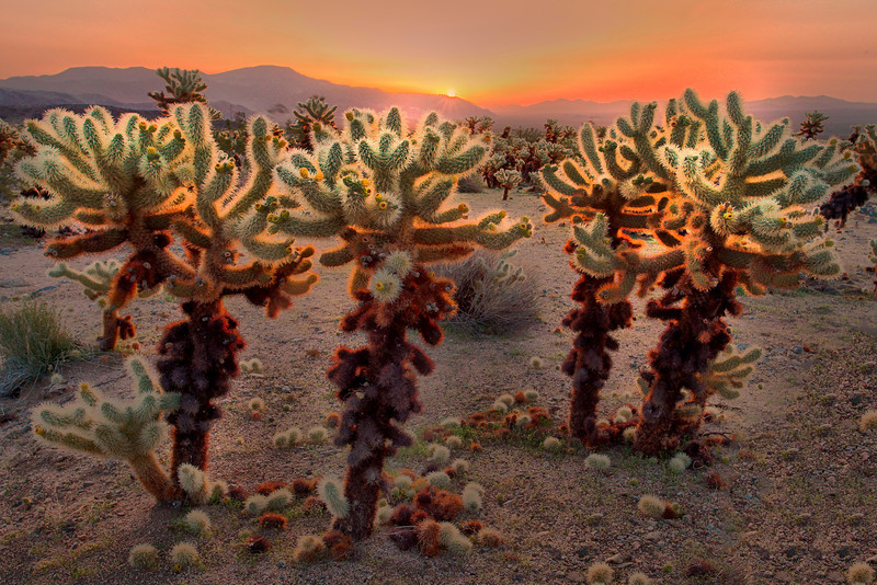 Backlit Cactus - Cholla Cactus Gardens - Joshua National Park, California