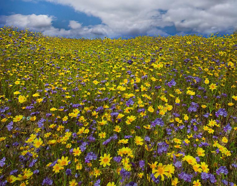 Dreams Of Wildflowers - Carrizo Plain National Monument, California