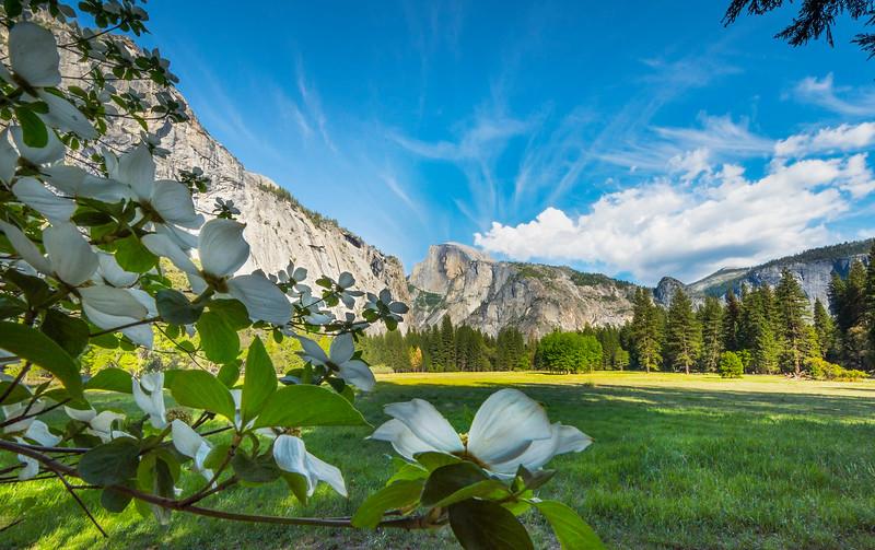 Dogwoods Framing Below Half Dome - Yosemite National Park, Sierra Nevadas, California