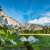 Dogwoods Framing Below Half Dome - Yosemite National Park, Sierra Nevadas, California