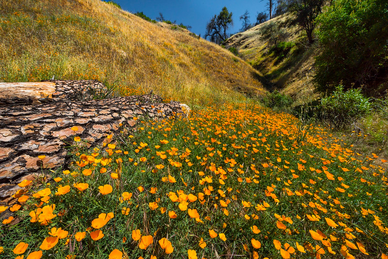 Poppy Valley Along Incline Road In Merced Canyon - Yosemite National Park, Sierra Nevadas, California