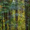 Abstract Dogwoods Against Morning Light - Yosemite National Park, Sierra Nevadas, California