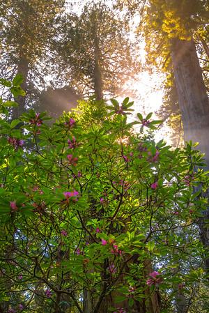 Redwood Sunrays - Redwoods, California