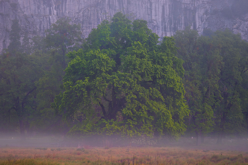 The Elm Tree In Low Lying Mist - Yosemite National Park, Sierra Nevadas, California