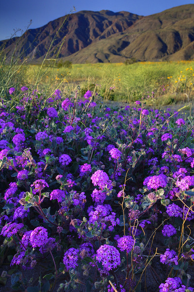 Purple Power - Anza-Borrego Desert State Park, California