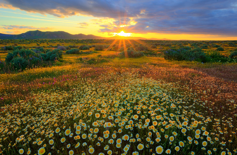 Sunburst Over The Spring Wildflowers - Carrizo Plain National Monument, California