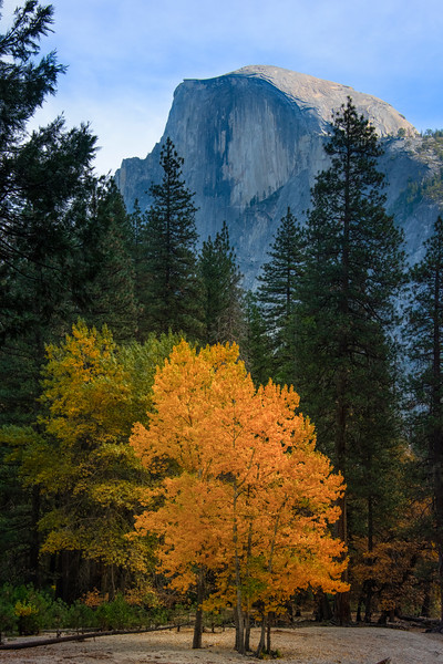 Single Yellow In Golden Light Under Half Dome - Lower Yosemite Valley, Yosemite National Park, California