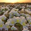 Primrose Sunset - Joshua Tree National Park, California