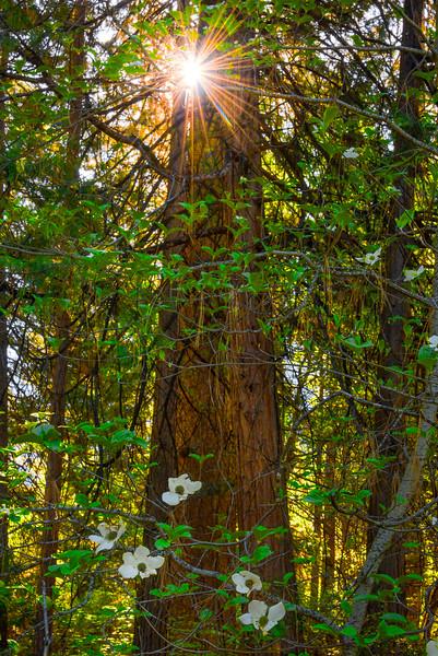 Dogwoods And Sunstars - Yosemite National Park, Sierra Nevadas, California