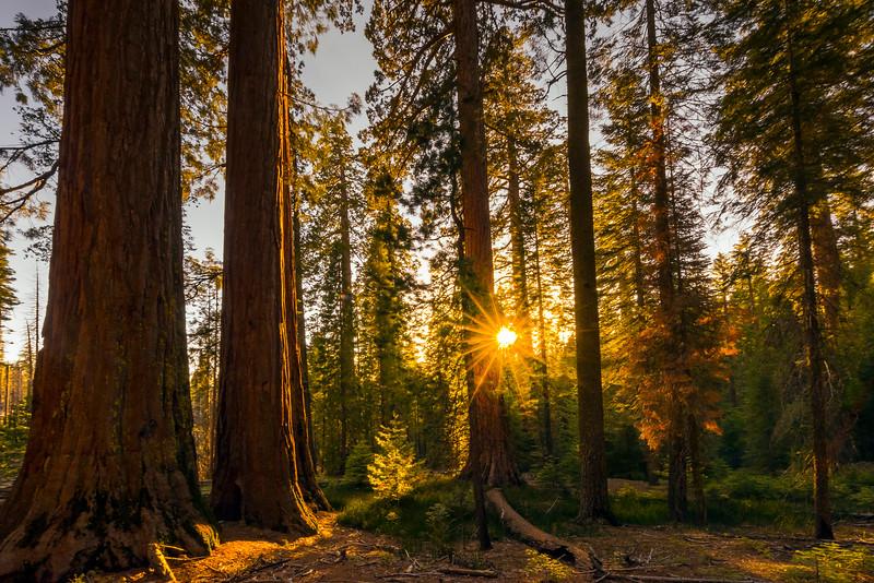 Sunset Light On The Mariposa Grove - Yosemite National Park, Sierra Nevadas, California