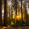 Sunset Light On The Mariposa Grove - Yosemite National Park, Sierra Nevadas, California