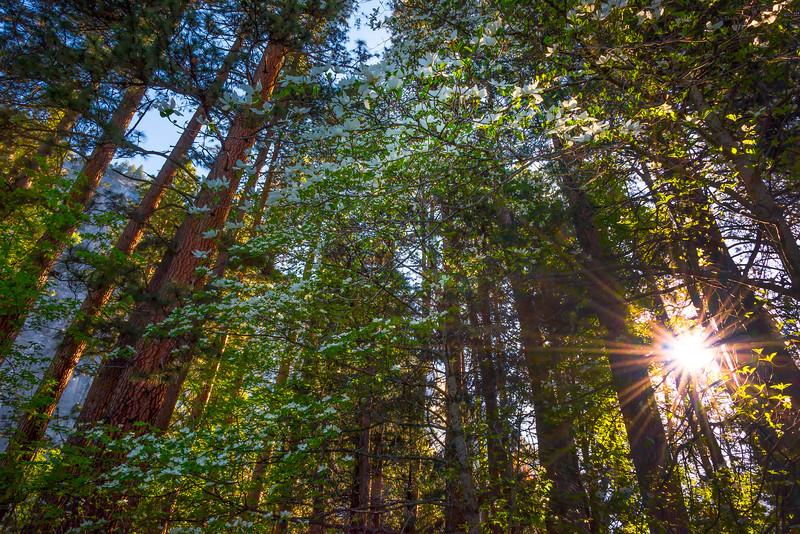 Dogwood Trees Showcased By Sun - Yosemite National Park, Sierra Nevadas, California