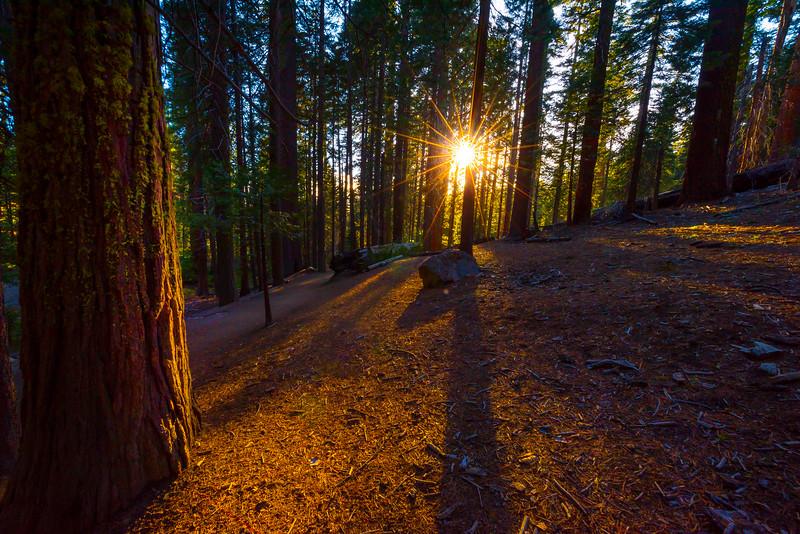 Sunstar Through The Mariposa Grove - Yosemite National Park, Sierra Nevadas, California