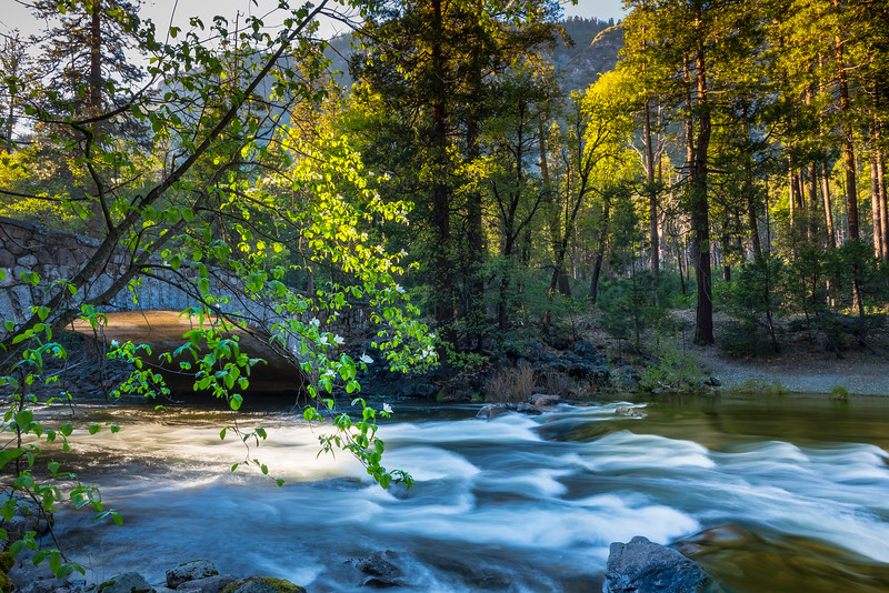 Dogwoods Hanging Over Pohono Bridge - Yosemite National Park, Sierra Nevadas, California