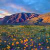 Desert Wildflower Explosion  - Anza-Borrego State Park, California