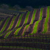 Rows Of Mood Along The Hills Of Paso - Paso Robles, California