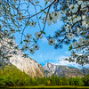Dogwoods Framing Half Dome - Yosemite National Park, Sierra Nevadas, California