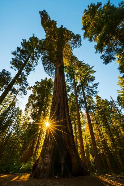 The Mariposa Grove Standing Tall - Yosemite National Park, Sierra Nevadas, California