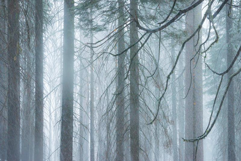 Snow Blizzard On Wawona Pass - Yosemite National Park, Sierra Nevadas, California