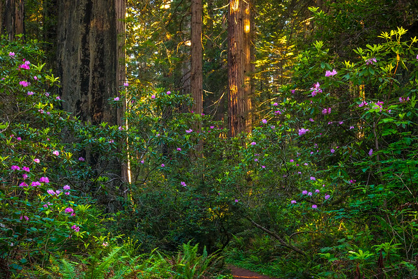 A Trail Of Pink Rhodies - Redwoods, California