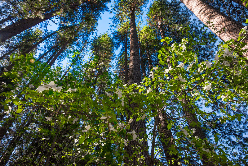 Under The Roof Of The Canopy - Yosemite National Park, Sierra Nevadas, California