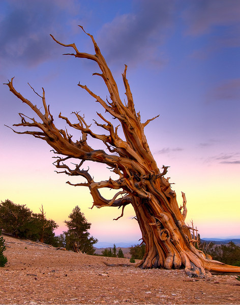 Standing Proud - Ancient Bristlecone Forest, Eastern Sierras,  California