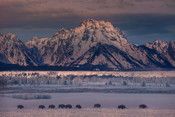 Bison Crossing - Grand Teton National Park, Wyoming