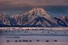 Bison Crossing - Grand Teton National Park, Wyoming