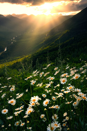 Daisy Delight Sunset - Going To The Sun Road, Glacier National Park, Montana