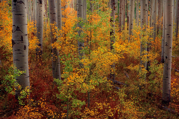 A Dash Of Colorado Autumn Colors - Maroon Bells-Snowmass Wilderness, Aspen, Colorado