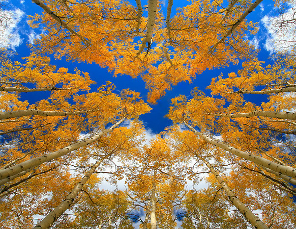 Looking Straight Up - Gunnison National Forest, Colorado
