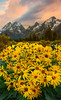 Endless Yellow Dreams - Grand Teton National Park, Wyoming St