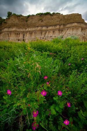 Wildflowers Amidst The Badlands - Theodore Roosevelt National Park, North Dakota