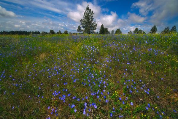 Fields Galore Of Sweet Clover - Makoshika State Park, Glendive, Eastern Montana