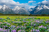 Endless Fields Of Purple And Yellow - Grand Teton National Park, Wyoming St