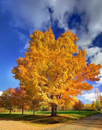 Yellow Autumn  - Vermont