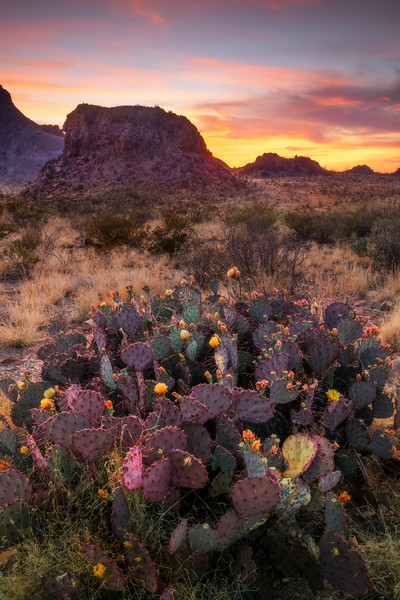 Prickly Pear In Bloom Under Sunset - Big Bend National Park, Texas
