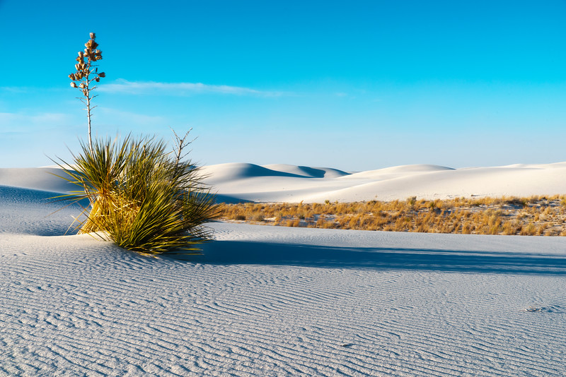White Sands Afternoon Light And Yucca