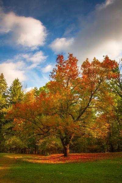 The Sunny Tree In Full Autumn Glory Watkins Glen State Park, Finger Lakes Region, Upstate New York, NY