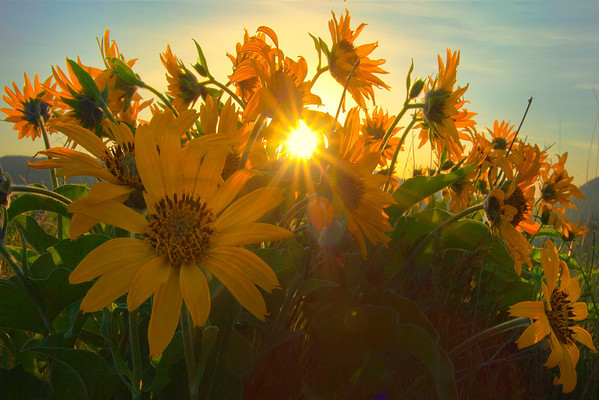 Sunburst Through Spring Flowers - Rowena Plateau, Columbia Gorge Scenic Area, Oregon
